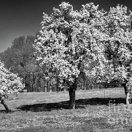 Apple Trees by Elisabeth Lucas
