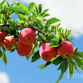 Apples On A Branch by Elena Elisseeva