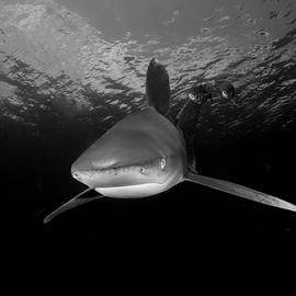 Approaching Oceanic White Tip Shark in the Bahamas