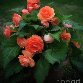 Ann Jacobson - Apricot Begonia