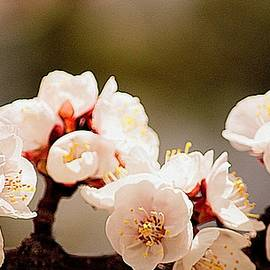 Apricot Blossom  by Joan Han