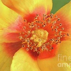 Regina Geoghan - April Yellow Rose