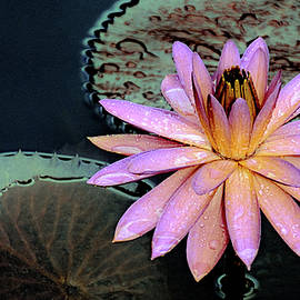 Aquatic Beauty Night Blooming Water Lily by Julie Palencia