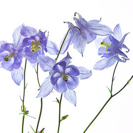 Aquilegia by Robert Murray