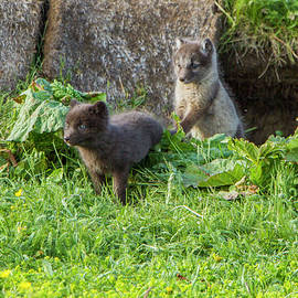 Venetia Featherstone-Witty - Arctic Fox Cubs Playing in Iceland
