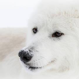 Athena Mckinzie - Arctic Wolf