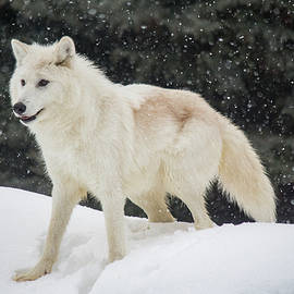 Teresa Wilson - Arctic Wolf in the Snow