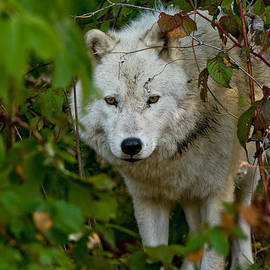 World Wildlife Photography - Arctic Wolf Pictures 1229