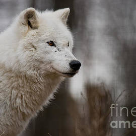 World Wildlife Photography - Arctic Wolf Pictures 1242