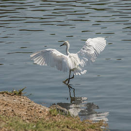 Are You Ready To Dance - Great Egret In Mtn View Ca by Michael Bessler