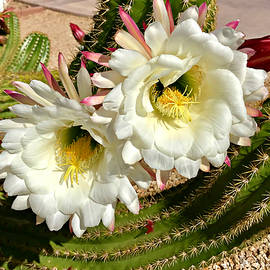 Barbara Zahno - Argentine Giant Cactus on Bloom