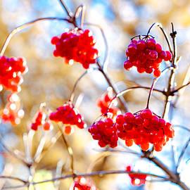 Alexander Senin - Arrowwood Berries
