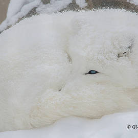 Arctic fox by Gina Levesque