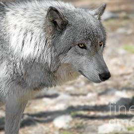 Anthony Sacco - Artic Wolf