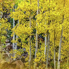 Aspen Autumn Burst by Bill Gallagher