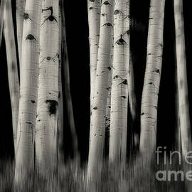Aspen Grove 2 bw by Jerry Fornarotto