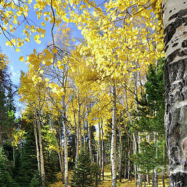Nava Thompson - Aspen Tree