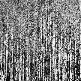 Stuart Litoff - Aspen Trees - New Mexico