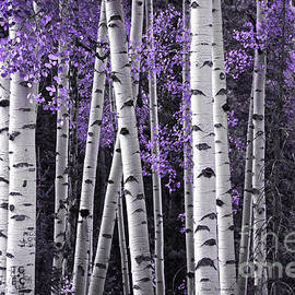 Aspen Trunks Lavender Leaves by John Stephens