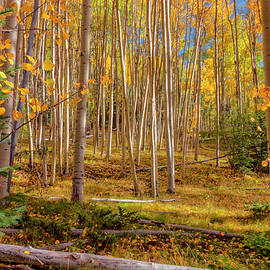 Aspens In Autumn 12 - Santa Fe National Forest New Mexico by Brian Harig