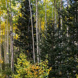 Aspens In Autumn 5 Panorama - Santa Fe National Forest New Mexico by Brian Harig