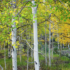 Aspens In Autumn 6 - Santa Fe National Forest New Mexico by Brian Harig