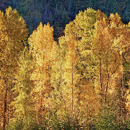Aspens In Autumn IIi by Leda Robertson