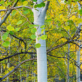 Aspens In Autumn Panorama 2 - Santa Fe National Forest by Brian Harig