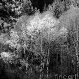 Aspens In Morning Light  For Traci by Barbara Henry