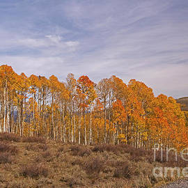 Aspens In Utah by Cindy Murphy - NightVisions