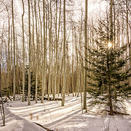 Aspens In Winter 1 - Santa Fe National Forest New Mexico by Brian Harig