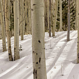 Aspens In Winter 2 Panorama - Santa Fe National Forest New Mexico by Brian Harig