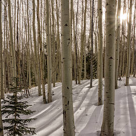 Aspens In Winter 2 - Santa Fe National Forest New Mexico by Brian Harig