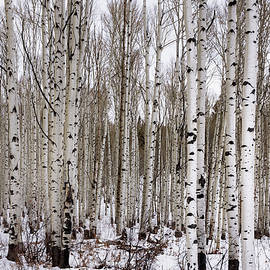 Brian Harig - Aspens In Winter - Colorado