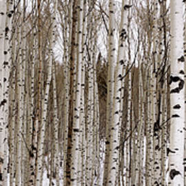Brian Harig - Aspens In Winter Panorama - Colorado