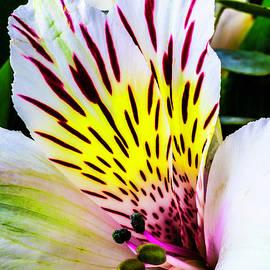 Garry Gay - Astromeria Flower Close Up