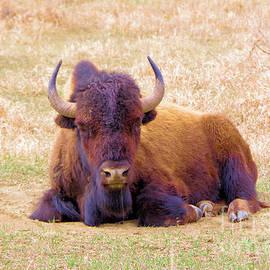 A Buffalo staring by Jeff Swan