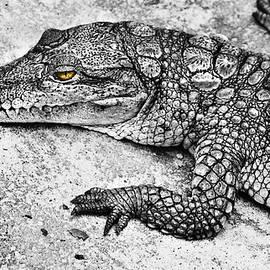 Australian Shy Crocodile  by Miroslava Jurcik