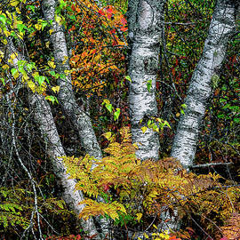 Marty Saccone - Autumn Birch