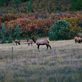 Jason Coward - Autumn Bull Elk