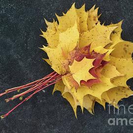 Valdis Veinbergs - Autumn colored maple leaves on the paving stone