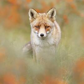 Roeselien Raimond - Autumn Fox