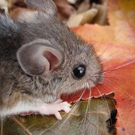 Autumn Mouse by Anne Ditmars