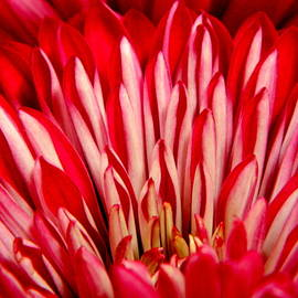 Autumn Mum - Macro by Arlane Crump