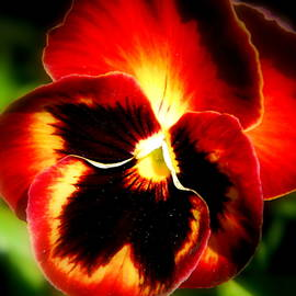 Autumn Pansy by Arlane Crump