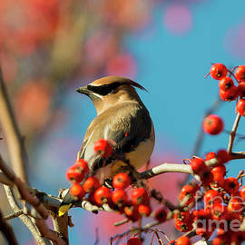 Mike Dawson - Autumn Waxwing