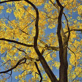 Norman Gabitzsch - Autumn Yellow