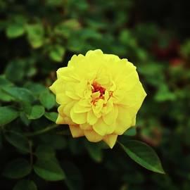 Autumn Yellow Rose by Cynthia Guinn