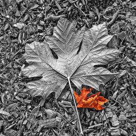 Autumn's Maple Leaf Selective Color by Jennie Marie Schell