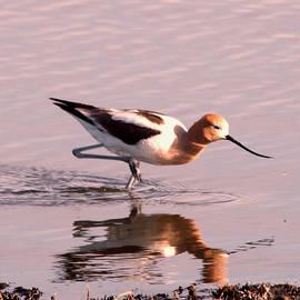Jeff Swan - Avocet wading shoreside